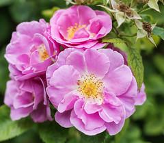 Summer memories on a rainy bank holiday (DavidHowarthUK) Tags: london regentspark june 2018 flower rose