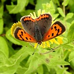Small Copper Butterfly thumbnail