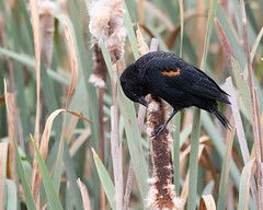 Red-winged Blackbird III (dennis_plank_nature_photography) Tags: avianphotography redwingedblackbird ridgefieldnwr birdphotography naturephotography ridgefield wa avian birds nature