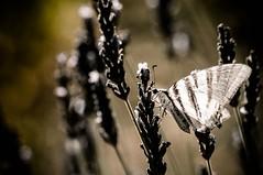 Haute Provence, papillon, HDR, 10 (Patrick.Raymond (4M views)) Tags: papillon hdr insecte abeille nikon 150mm macro lavande fleur isecte