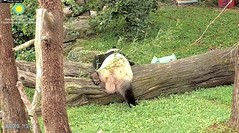 2018_08-22zd (gkoo19681) Tags: beibei chubbycubby fuzzywuzzy adorableears feetsies 3rdbirthday celebrating icecake presents squaretubby sugarcane apples nanner fullbelly resting favoritelog danglingleg sotired naptime beingadorable comfy justbecausehecan sohandsome perfection tootired sillygoober passedout meltinghearts precious sohappy onapedestal toocute amazing toofunny birthdaywish ccncby nationalzoo