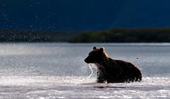 Backlight in Kuril lake (paolo_barbarini) Tags: kamchatka kuril wildlife bears orsi backlight controluce water acqua nationalgeographic animalplanet