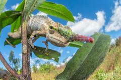 Blade-horned chameleon (Calumma gallus) - DSC_0990 (nickybay) Tags: africa madagascar macro andasibe vohimana cctv wideangle fisheye chameleon calumma gallus lancehorned lance lancenosed bladehorned