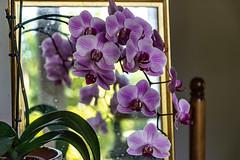 06-Orchidée Phalaenopsis (Alain COSTE) Tags: pessac gironde france fr