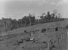 Dixon's Dairy Farm, Maleny (Queensland State Archives) Tags: qsa cows calves pigs dairy farm farming farmer farmers queenslandstatearchives maleny