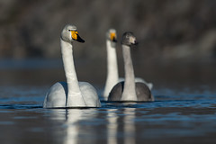 Whooper Swan Cygnus cygnus (janmangorfagerland) Tags: white swan wilderness norway water fjord family blue wasteland