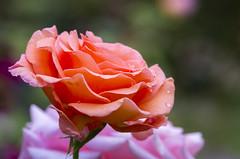 Coral Rose in the Rain (s.d.sea) Tags: rose roses petals petal flower flowers blossom bloom garden summer grow nature pnw pacificnorthwest issaquah klahanie pentax k5iis 120mm macro washington washingtonstate