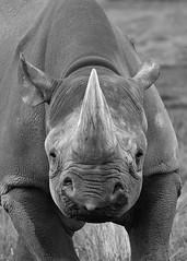Black Rhino B&W (Dillon27) Tags: nikon d750 300mmf4pf blackwhite rhino yorkshirewildlifepark nationalgeographic