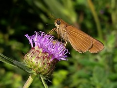 Ocola Skipper (rstickney37) Tags: hesperiidae skipper northcarolinabutterflies