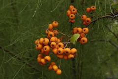 Beeren (petra.wruck) Tags: beere beeren berry berrys pflanzen pflanze plants obst fruit lebensmittel foodstuffs food foods groceries provisions viands vitamine vitamins