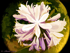 Agapanthus with a twist (Aussie~mobs) Tags: creative flower artwork round circular prety colourful