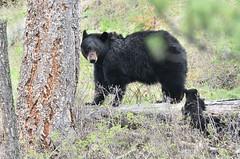 Black bear with cubs (adbecks) Tags: yellowstone bear cubs nikon d500 200500mm high iso