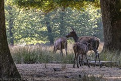 Biche et faon - Hind and fawn (dom67150) Tags: animal cerf biche parcanimalierdesaintecroix lorraine rhodes faon hind fawn cerfélaphe reddeer ngc