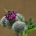 Hoverfly on a Thistle