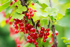 Summer flavour (Mary Oceans) Tags: summer flavour red currant berry green nature delicious fruit colorful bright food vegan healthy fresh sweet bokeh sour