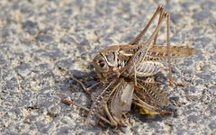 Dectique à front blanc (M) - IMG_7287 (6franc6) Tags: insecte sauterelle occitanie languedoc gard 30 petite camargue août 2018 6franc6 vélo kalkoff vae