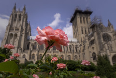 The Bishop's Garden at Washington National Cathedral (johngoucher) Tags: approved washingtonnationalcathedral architecture cathedral washingtondc sonyimages sonyalpha alphacollective architecturalphotography church gothicarchitecture garden bishopsgarden nature outdoors wideanglelens rokinon12mm rose flower closeup sky clouds