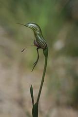 Bird Orchid  Pterostylis barbata. (ron_n_beths pics) Tags: westernaustralia orchidaceae pterostylis