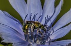 Shiny Colorful (Klaus Ficker --Landscape and Nature Photographer--) Tags: flower bee nature colorful color kentuckyphotography klausficker canon eos5dmarkii closeup macro blue blume biene