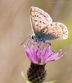 Common blue on knapweed