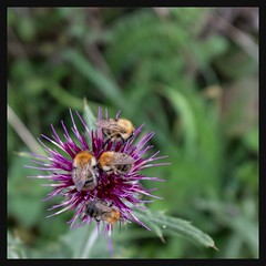 Bees on Thistle (velodenz) Tags: velodenz fujifilm x100f fujifilmx100f nature bee bees insect thistle flower plant wild closeup macro dof depthoffield bokeh 1000 views 1000views