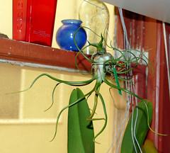 Tillandsia bulbosa 7-18 (nolehace) Tags: plant tillandsia bulbosa 718 summer nolehace sanfrancisco fz1000