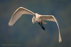 Great egret (Kevin James54) Tags: greategret lakegalena nikond850 peacevalleypark tamron150600mm animals ardeaalba avian bird egret kevingianniniphotocom