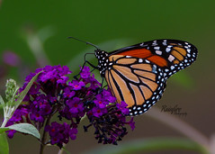 Monarch (Rainfire Photography) Tags: butterfly flower monarch nature wildlife nikon d7200