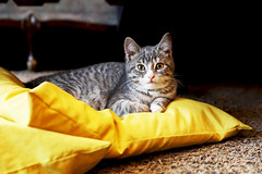 Meowtreal (kirstiecat) Tags: caturday meow cat kitten chat chatte gato gata canada catada feline montreal quebec kitty pillow yellow