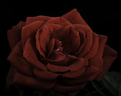 Red Rose With Soft Light (Bill Gracey 22 Million Views) Tags: rose rosa fleur flower flor red offcameraflash softbox softlight griddedsoftbox sidelighting filllight shapes textures shadowshapes yongnuo yongnuorf603n tabletopphotography blackbackground macrolens homestudio