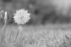 summer is ending... (Fotograf bez nápadu) Tags: dandelion summer autumn grass blackandwhite garden gardening coloredit sweet longglass ireallylike readytoblow oldlens fujix olympuslens