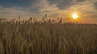 Sunset in the corn field - sonnenuntergang im Getreidefeld