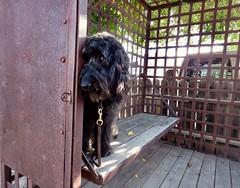 """I'm in the jailhouse now..."" by Benni (Bennilover) Tags: jail cell sanjuancapistrano cells jails dog dogs labradoodle black blackdogs 52weeksfordogs benni bennigirl"
