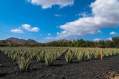 Finca Canarias Aloe Vera (BoomShakalaka86) Tags: 16mm pflanzen nikon himmel orte aloevera 85mm nature natur d500 nikkor 160850mm objektiv fuerteventura