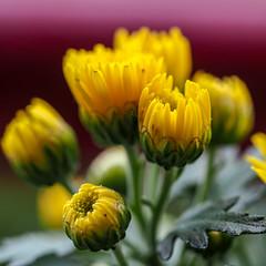Chrysanthemen (p.schmal) Tags: olympuspenf olympus60mmf28makro hamburg farmsenberne chrysanthemen
