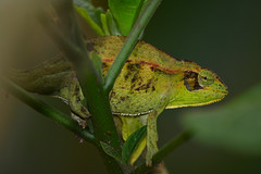 Elliot's Groove-throated Chameleon (Chamaeleo ellioti - Trioceros ellioti) (supersky77) Tags: entebbe uganda africa reptile village chameleon