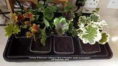 Fuchsia & Geranium cuttings & 'Bird of Paradise' seeds in propagator 3rd September 2018 (D@viD_2.011) Tags: fuchsia geranium cuttings bird paradise seeds propagator 3rd september 2018