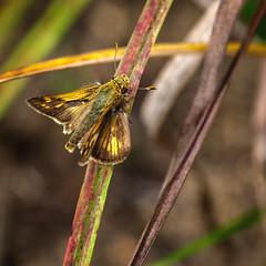 Orange Splash (Portraying Life, LLC) Tags: dbg6 da3004 hd14tc k1mkii michigan pentax ricoh unitedstates butterfly closecrop handheld nativelighting leonardspreserve meadow thatch
