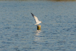 Bird, Sterne, Tern