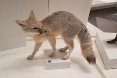 Swift Fox (quinet) Tags: 2017 canada ontario präparatoren rom royalontariomuseum toronto empaillage museum musée naturalhistory taxidermy 124
