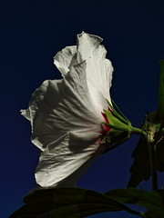 Hibiscus syriacus (Txaro Franco) Tags: hibiscus syriacus flor blanca fondo verde berdea zuria lorea flower luz argia bokeh punto de vista flickrfriday