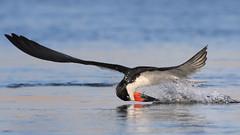 Fishing! (bmse) Tags: bolsa chica fish fishing black skimmer bmse salah baazizi wingsinmotion canon 7d2 400mm f56 l water ocean bird