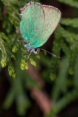 Green on Green - _TNY_4651 (Calle Söderberg) Tags: macro canon canon5dmkii canoneos5dmarkii 5d2 canonef100mmf28usmmacro insect butterfly fjäril juvelvinge callophrys rubi hairstreak greenhairstreak grönsnabbvinge björnbärssnabbvinge green metallic glitter flash meike mk300 glassdiffusor raynox dcr250 lycaenidae lycaeninae hair hairy fuzz fuzzy scales f27 leipidoptera