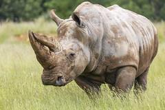 nature's tank (Cranswick852) Tags: 6654 zoo whipsnade rhino rhinocerous whiterhino canon canon5d canon5dmk3 canon5dmkiii ef100400mmf4556lisiiusm ef14xiii