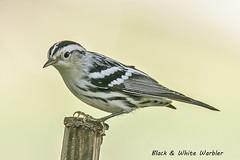 Black & White Warbler (magnusson.gary) Tags: black white warbler songbird hnausa manitoba