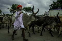 Cattle herd (Pawan Pandey) Tags: better food butter roti daal fry delhi dhaba disrupt grazing herds ncr photogenic photoygraphy rajasthan traffic travel photography