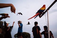 * (Sakulchai Sikitikul) Tags: street snap streetphotography summicron songkhla sony a7s bird thailand hatyai 35mm leica