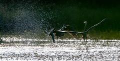 Get Away From My Fishing Spot! (Keztik) Tags: grand héron great blue heron ardea herodias bird oiseau animal wildlife nature fight combat action nikon d7500