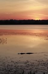 American Alligator (TomLamb47) Tags: nature wildlife gator alligator marsh wetlands water sunrise sky canon 1d4 100400mm