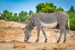 reserve afriaine de sigean (usulebis) Tags: animal animalier reservedesigean